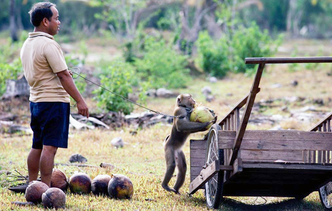 Ministry of Commerce and Monkey Schools Defend Monkey Labor