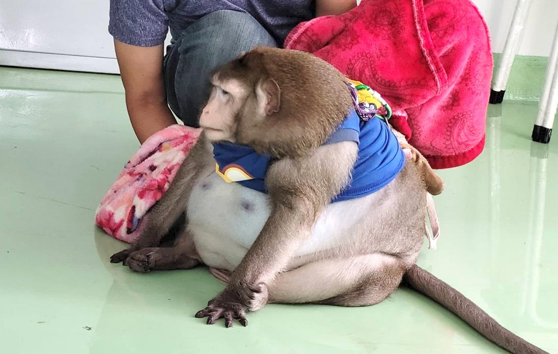 Wildlife Authorities Seize Obese Monkey From Bangkok Market