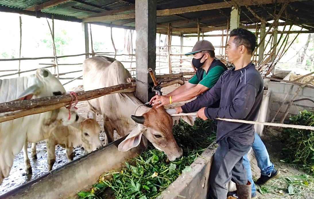Thai district offers free live cows to vaccinated people